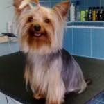Szőke VIktoria kutyakozmi munkája FF kutyakondival